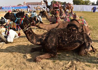 IND_0824-7x5-Camels