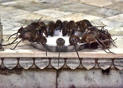 IND_0911-7x5-Rat temple