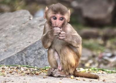 IND_3865-7x5-Baby Monkey