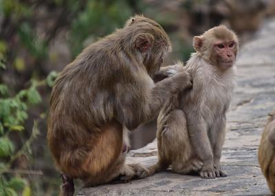 IND_3846-7x5-Monkey-Grooming
