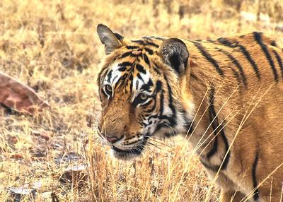 IND_4210-7x5-Tiger-Close