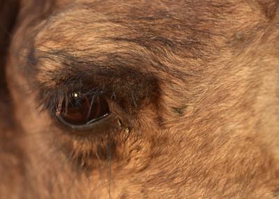 IND_1738-7x5-Camel Eye