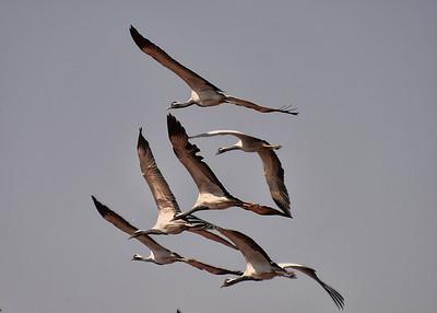 IND_1233-7x5-Cranes in Flight