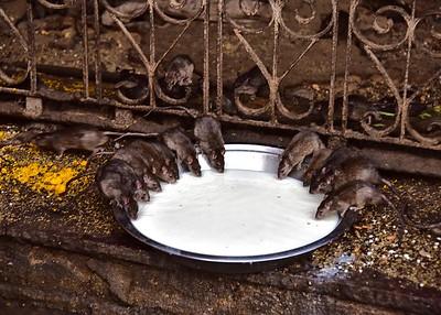 IND_0907-7x5-Rat Temple
