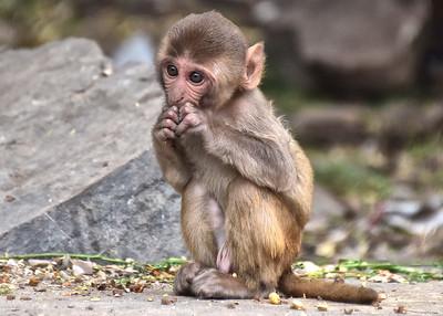 IND_3860-7x5-Baby Monkey