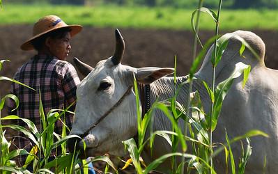 MYA_2817-Farmer and cow