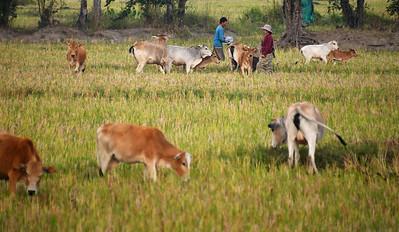 MYA_4366-Working the Cattle