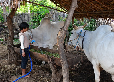 MYA_2635-Girl feeding cattle