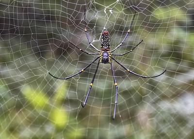NEP_1769-7x5-Spider