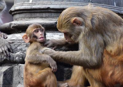 NEP_3909-7x5-Monkey Grooming