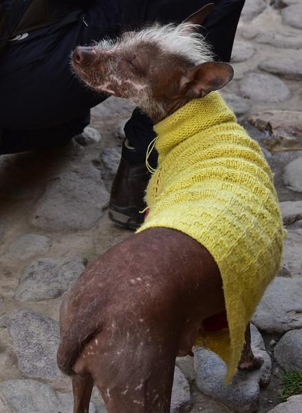 ECQ_6324-Peruvian Inca Orchid-Hairless dog