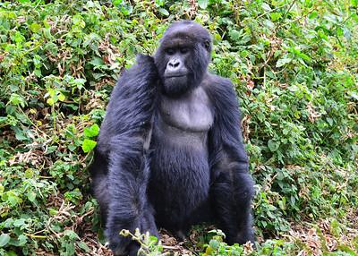 ARW_2017-7x5-Gorilla