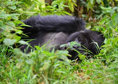 ARW_2198-7x5-Gorilla