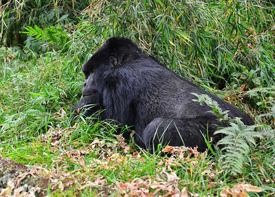 ARW_2049-7x5-Gorilla