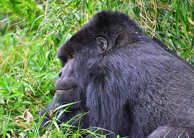 ARW_2048-7x5-Gorilla