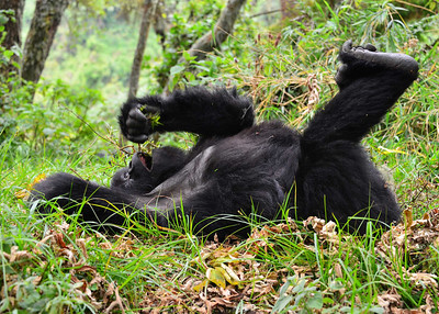 ARW_2170-7x5-Gorilla
