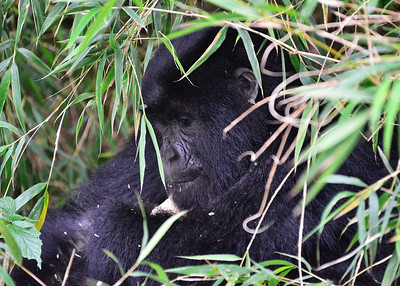 ARW_2280-7x5-Gorilla