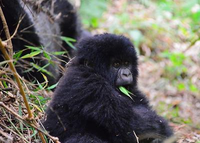 ARW_2132-7x5-Gorilla with Papa behind