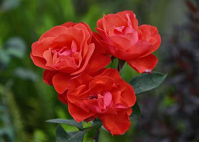 ARW_1512-7x5-Roses