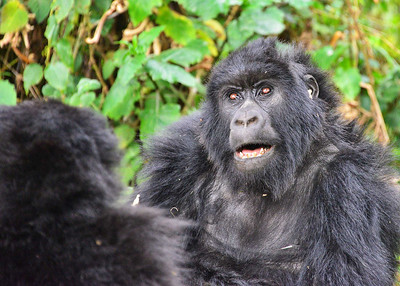 ARW_1974-7x5-Gorilla