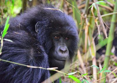ARW_2536-7x5-Gorilla