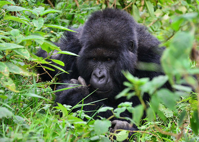 ARW_2218-7x5-Gorilla
