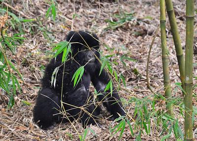 ARW_2075-7x5-Gorilla