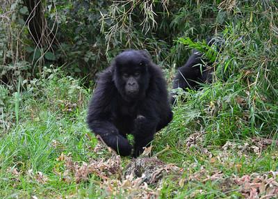 ARW_1951-7x5-Gorilla