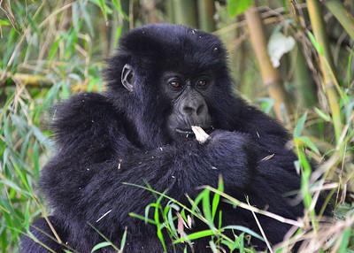 ARW_2306-7x5-Gorilla Feeding