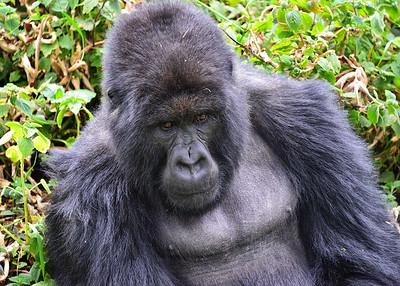 ARW_2029-7x5-Gorilla