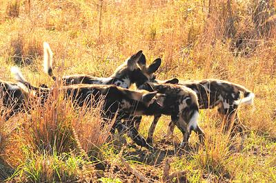 SAN_6304-7x5-Wild Dog