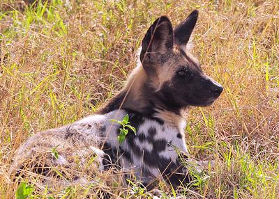 SAN_6352-7x5-Wild Dog-v3