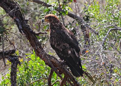 SAN_5182-7x5-Fish Eagle