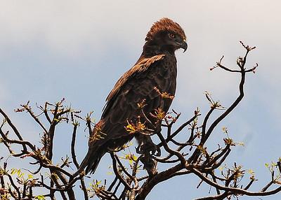 SAN_5419-7x5-Brown Snake Eagle