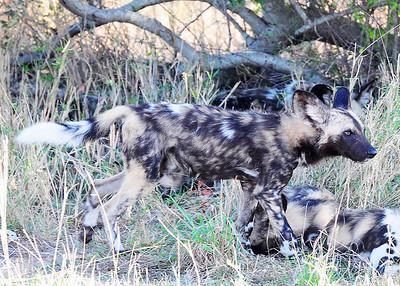 SAN_6182-7x5-Wild dog-v2