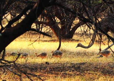 SAN_3689-7x5-Baby Ostrich