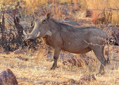 SAN_2792-7x5-Warthog