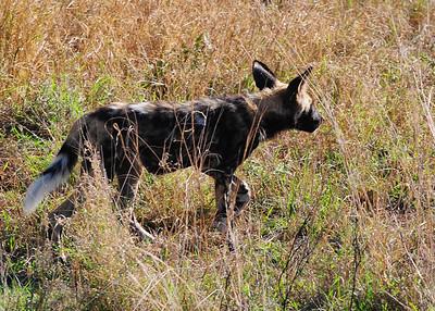 SAN_6186-7x5-Wild Dog
