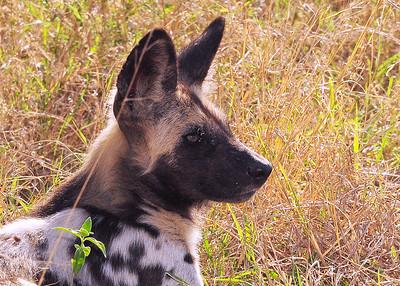 SAN_6352-7x5-Wild Dog-v5
