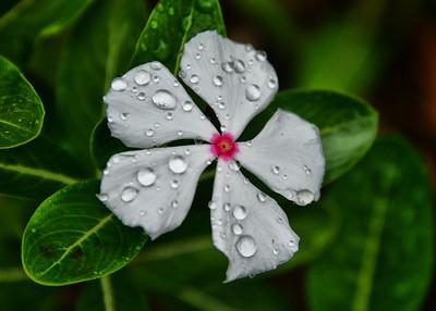 EAS_3120-7x5-Flower-Rain Drops