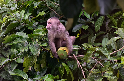 ECQ_1117-Monkey Eating