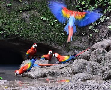 ECQ_1753-Parrots-Flight