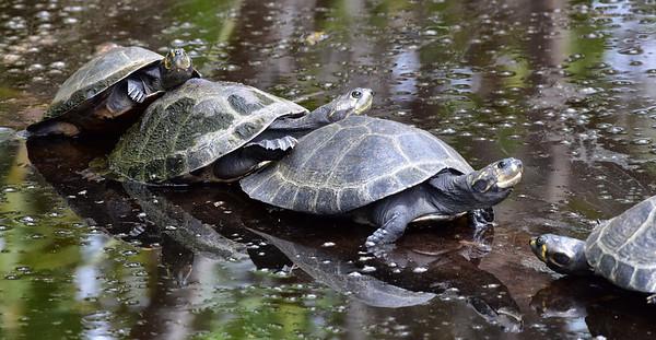 ECQ_0897-Turtles Sunning
