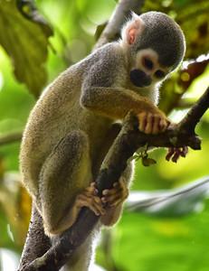 ECQ_1446-Spider Monkey