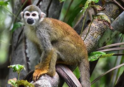 ECQ_1478-Spider-Monkey