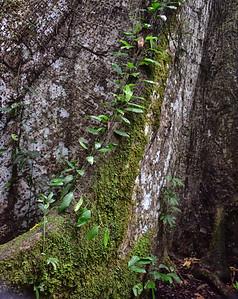 ECQ_0766-Kapoc Tree