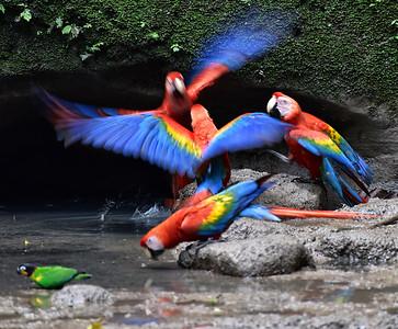 ECQ_1784-Parrots-Flight