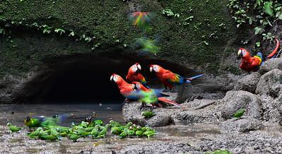 ECQ_1919-Parrots