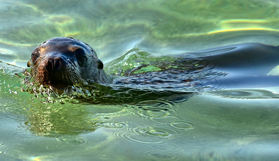 ECQ_2902-Sea Lion in Water