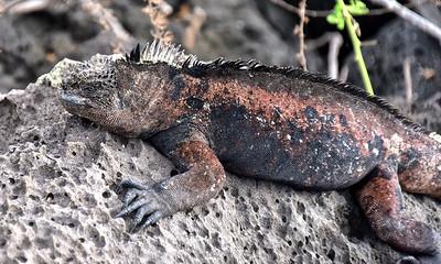 ECQ_2732-Marine Iguana